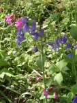 Bluebells and Red Campion