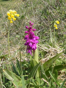 Early Purple Orchid and Cowslips