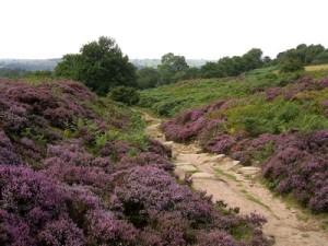 Heather on Stanton Moor
