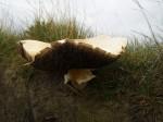 Field Mushroom 2
