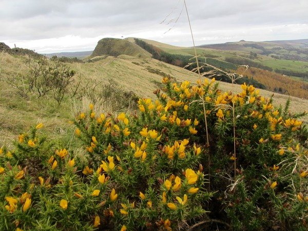 Gorse in flower on The Great Ridge in November