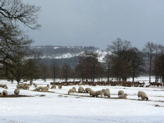 Herds of Red Deer and Sheep at Chatsworth