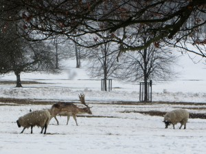 Fallow Deer and Sheep