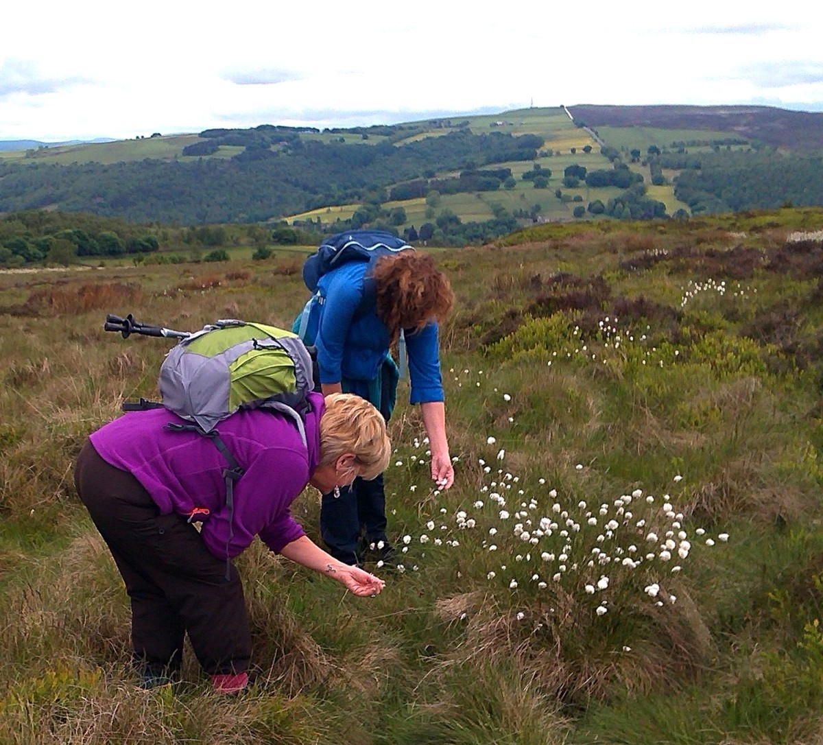 Looking at Cotton Grass