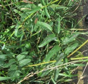 Great Burnet leaves