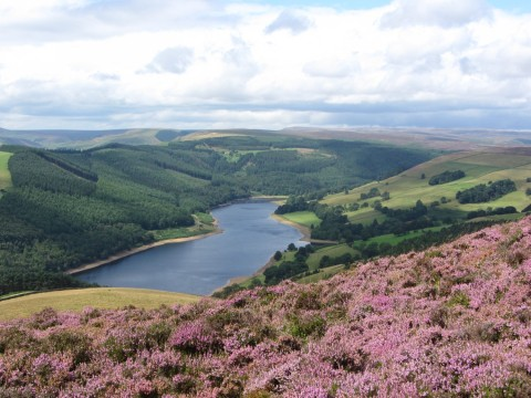 Ling Heather on Derwent Edge