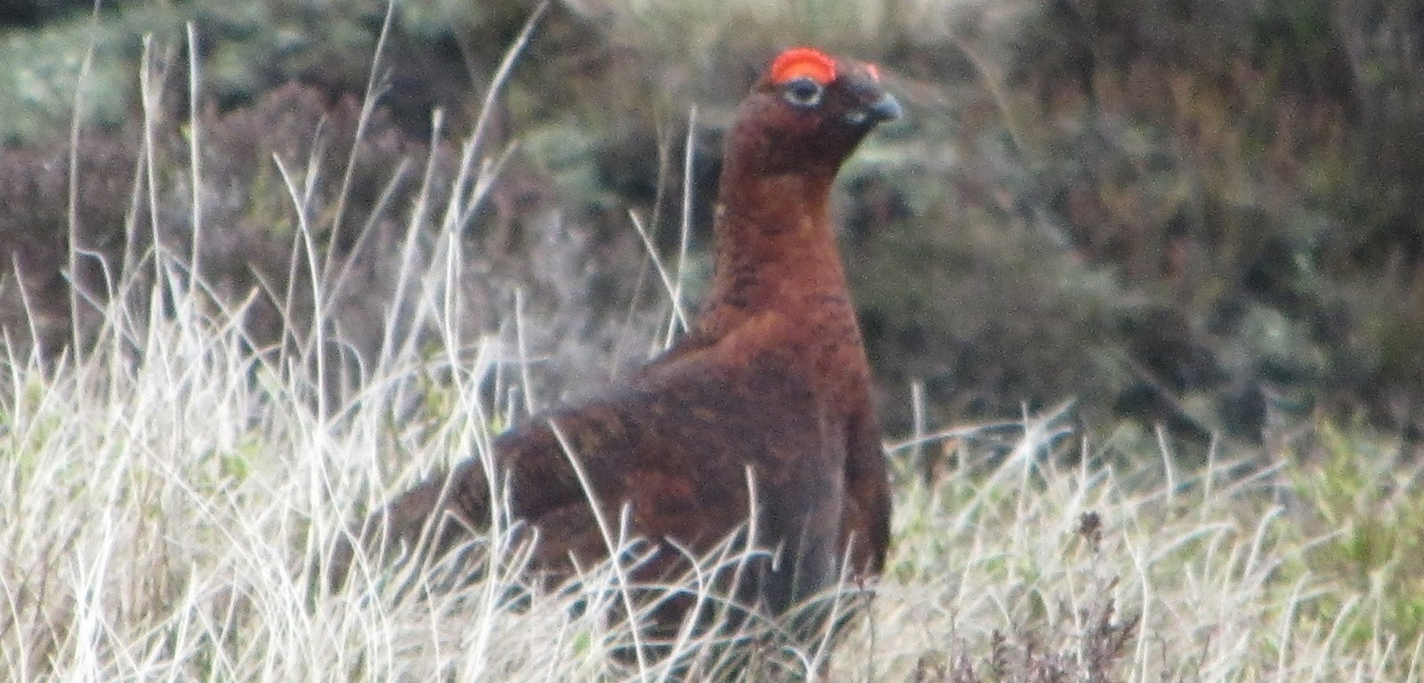Red Grouse on Kinder Scout