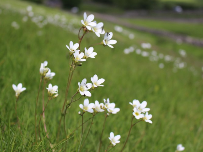 Meadow Saxifrage 1