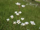 Meadow Saxifrage 2