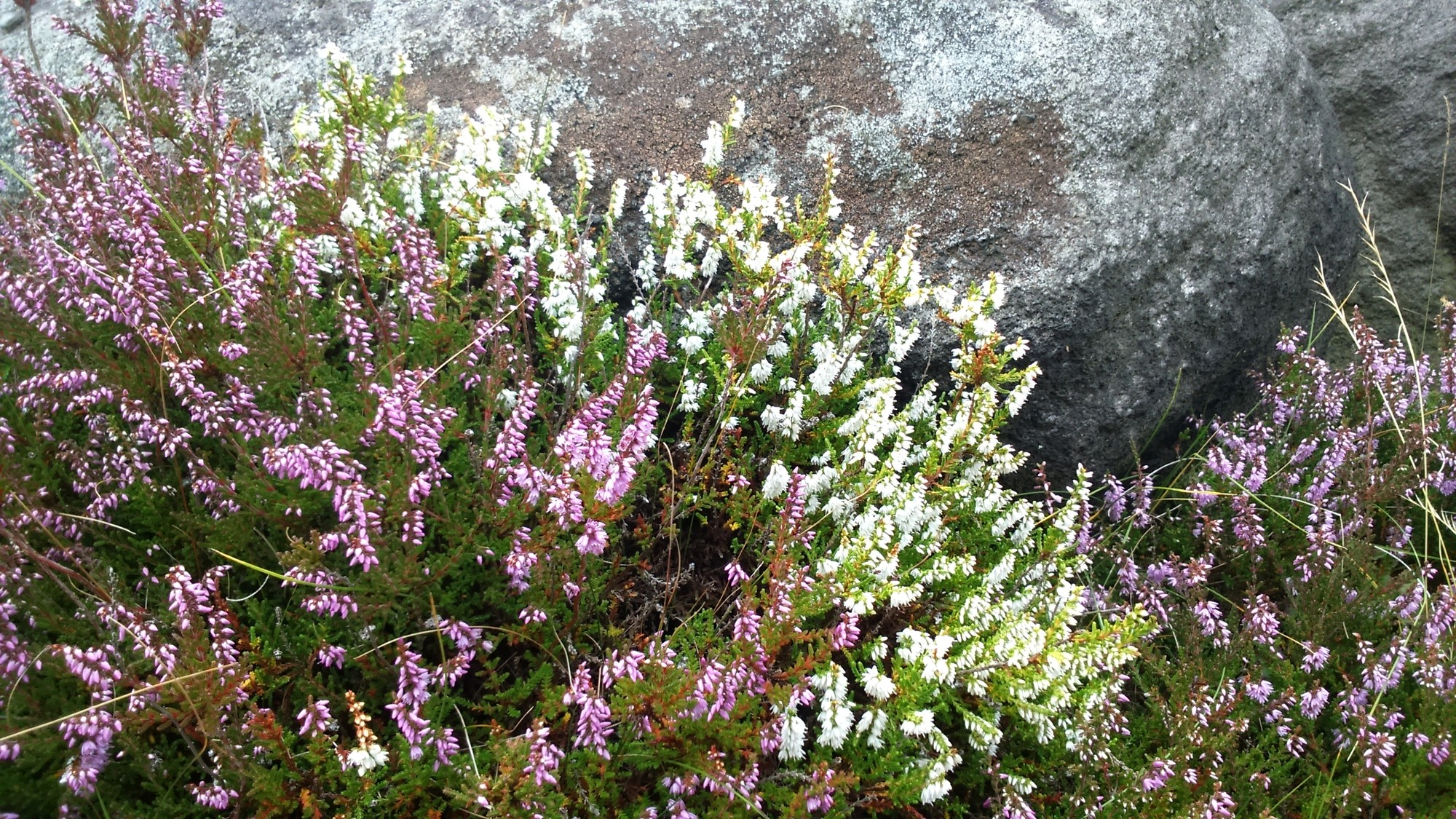 Ling heather in its rare white form peak district countryside blog white and purple ling heather mightylinksfo
