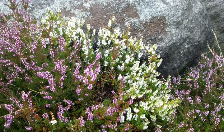 White and purple Ling Heather